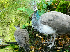 P1000420 Peahen and chick (Photos-Tony Wright) Tags: brownsea island trip dorset uk september 2019 peahen chick chicks bird