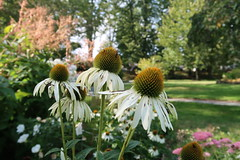 Coneflowers at Halifax Public Gardens (globewriter) Tags: boer war memorial fountain halifax public gardens nova scotia boerwar halifaxpublicgardens canong7mkii canon g7 mark