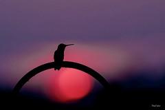 Taking a Rest At Sunset (PNWheat) Tags: illinois siliotte bird sunset rubythroatedhummingbird