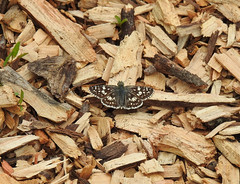 Tiny Treasure in the Wood Chips (annette.allor) Tags: pyrguscommunis butterfly spreadwinged skipper common checkered