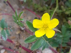 Build me up, buttercup (canadianlookin) Tags: yellow buttercup silverweed wildflower