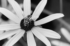 Hover Fly On BES (Modkuse) Tags: hoverfly insect creature nature natural art artphotography artistic artisticphotography photoart fineartphotography fineart monochrome niksilverefexpro2ilford blackandwhite blackeyedsusan flower fujifilm fujifilmxt2 fujinon xt2 xf80mmf28rlmoiswrmacro xf80mmf28rlmoiswrmacrolens fujinonxf80mmf28rlmoiswrmacro outdoors