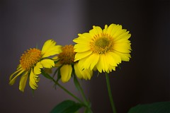 Yellow flowers in a garden (mamedical) Tags: flowers plant flower yellow closeup photography amazing colorful gardening wildlife yellowflowers macrophotography closeupphotography canon canon600d eos600d rebelt3i