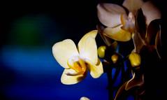 orchid (bluebird87) Tags: orchid film jobo lightroom kodak ektar telescope nikon f100 dx0 c41