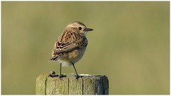 Juvenile female Whinchat. (Jeremy Eyeons) Tags: juvenilebird whinchat female rspb lincolnshire bird passerine