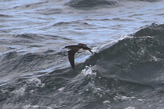Manx Shearwater (Dougie Edmond) Tags: scotland sea bird nature water ferry boat unitedkingdom wildlife