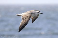 Sea Bird Selection (Dougie Edmond) Tags: sea bird nature scotland unitedkingdom wildlife saltcoats