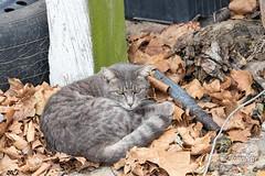 Barn Cat at Creamy Acres Farm (Jersey Camera) Tags: barncat cat feline