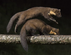 """""""Double Trouble"""" Pine Marten kits taken in Perthshire Scotland (adamcaird) Tags: canon5dsr canon outdoors nightime night wildlife scotland brown explore explored lowlight flash"""