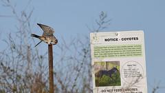 Ignore it at you rown peril. (Dinusaur) Tags: bird animal warningsign americankestrel