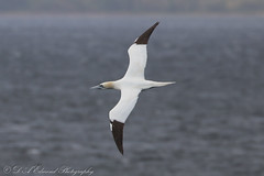 Gannet (Dougie Edmond) Tags: scotland unitedkingdom sea bird nature wildlife