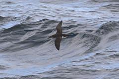 Manx Shearwater (Dougie Edmond) Tags: scotland unitedkingdom sea water bird nature ferry boat wildlife