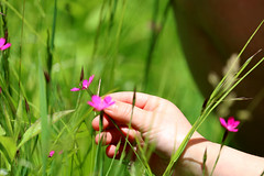 Dianthus armeria (wmpe2000) Tags: 2019 ct summer hike whitememorial fgm flowers wildflowers dianthus deptfordpink dianthusarmeria caryophyllaceae carnationfamily ordercaryophyllales magenta pink hand img5133a