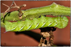 Tomato Hornworm (RKop) Tags: raphaelkopanphotography d500 nikkor200f4macro tripod ohio