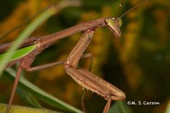 Side Glance (mjcarsonphoto) Tags: sandyridge loraincountymetroparks northridgeville wildlife prayingmantis