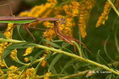 Praying Mantis (mjcarsonphoto) Tags: sandyridge loraincountymetroparks northridgeville wildlife prayingmantis