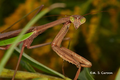 Mantis In The Eye (mjcarsonphoto) Tags: sandyridge loraincountymetroparks northridgeville wildlife prayingmantis