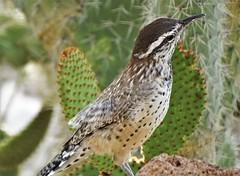 20190914 Cactus Wren (Campylorhynchus brunneicapillus) (lasertrimman) Tags: bird cactuswren campylorhynchusbrunneicapillus