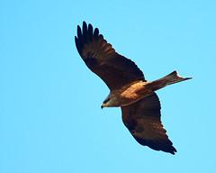 Black Kite (paulwood.photography) Tags: australia victoria werribee westerntreatmentplant wildlife bird kites blackkitemilvusmigrans fly inflight flying