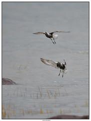 DSC_2042_Pluvier-argenté (robertgagnon) Tags: oiseaux birds