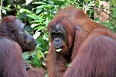 Two at a time (rlt64) Tags: nature wildlife borneo orangutan endangered primates