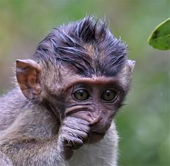 Anxious (rlt64) Tags: macaque borneo babies monkeys wildlife nature