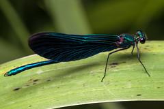 Five-and-a-Half Legs - _TNY_9695 (Calle Söderberg) Tags: macro canon insect flash demoiselle tyresta beautifuldemoiselle tyrestanationalpark canoneos5dmarkii canon5dmkii stensjödal 5d2 canon5dmarkii godox thinklite canonef100mmf28lmacroisusm tt685c plåtdiffusorv3 blue hairy green dark hair leaf hurt shiny turquoise metallic side profile injury vein damselfly virgo blackeyes damsel calopteryx veined iredescent zygoptera calopterygidae missingleg darkwings prachtlibelle flickslända jungfruslända blåjungfruslända blaufügelprachtlibelle f95