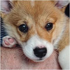 Close-up of Max | Nine Week Old Corgi Puppy | The Vinings Community (steveartist) Tags: corgis puppies dogs dogbreeds closeup maxthecorgi sonydschx80 snapseed photostevefrenkel