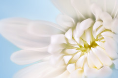 The Colors of Heaven (brian.pipe) Tags: nikon z6 105 vr micro macro flower white blue