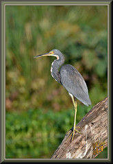 Background noise (WanaM3) Tags: wanam3 nikon d7100 nikond7100 texas pasadena clearlakecity horsepenbayou bayou outdoors nature wildlife canoeing paddling bokeh treetrunk waterhyacinth invasivespecies animal bird heron tricoloredheron egrettatricolor