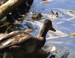 Duck (EcoSnake) Tags: ducks mallards waterfowl wildlife americanbullfrog lithobatescatesbeiana frogs amphibians idahofishandgamenature center