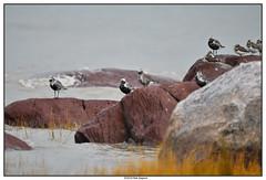 DSC_2036_Pluvier-argenté-Tournepierre (robertgagnon) Tags: oiseaux birds