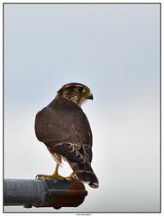 DSC_1968_Kamouraska-Faucon-émerillon_01 (robertgagnon) Tags: oiseaux birds