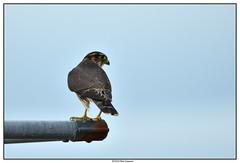 DSC_1963_Kamouraska-Faucon-émerillon_01 (robertgagnon) Tags: oiseaux birds