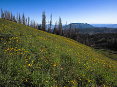 Slope Of Gold 2 (xjblue) Tags: 2019 mtnebo utah highpoint hike mountain mountains nature outdoor wasatch summer wildflower wasatchmountains