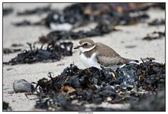 DSC_1986_Pluvier-semi-palmé (robertgagnon) Tags: birds oiseaux