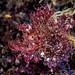 Weedy Scorpionfish - Rhinopias frondosa