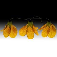 Japanese Maple Lanterns Trio (Explore) (Pixel Fusion) Tags: nature nikon flora flower aperture macro d600 photoshop japanesemaplelantern