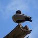 High Up Duck