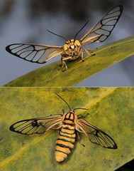 MUGSHOT - Clear-winged Tiger Moth, Handmaiden Moth or Wasp Moth, female (Caeneressa sp., Syntomini, Arctiinae, Erebidae) (John Horstman (itchydogimages, SINOBUG)) Tags: insect macro china yunnan itchydogimages sinobug entomology moth lepidoptera syntomini arctiinae arctiidae erebidae collage mosaic mugshot caeneressa