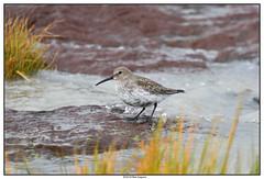 DSC_2003_Kamouraska-Bécasseau-variable (robertgagnon) Tags: oiseaux birds