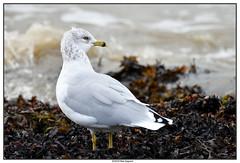 DSC_1997_Kamouraska-Goéland-bec-cerclé_01 (robertgagnon) Tags: oiseaux birds