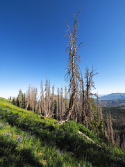 Dead Beauty (xjblue) Tags: 2019 mtnebo utah highpoint hike mountain mountains nature outdoor wasatch tree trees wasatchmountains
