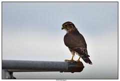 DSC_1970_Kamouraska-Faucon-émerillon_01 (robertgagnon) Tags: oiseaux birds
