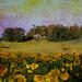 Sunflowers at Creston