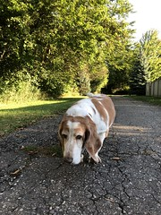 Slow walk (ladybugdiscovery) Tags: nutmeg bassethound walk