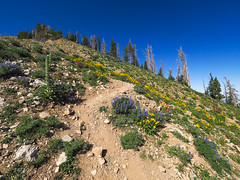 Steep Hike (xjblue) Tags: 2019 mtnebo utah highpoint hike mountain mountains nature outdoor wasatch wasatchmountains wildflower scenic flora