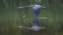 Blue Heron-0387 (Paul McGoveran) Tags: bif bird birdinflight blueheron hendrievalley nature nikon500mmf4 nikond500 nikond850 wings coth5 ngc