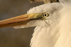 Great Egret (Ardea alba), Mississippi Bar, Sacramento Co., CA (Gil Ewing) Tags: ardeidae
