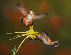 Rufous Hummingbirds (Eric Gofreed) Tags: arizona hummingbird mybackyard rufoushummingbirds sedona yavapaicounty